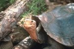 Tortoise Mating Habits
