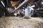 What Is the Target Weight for Laying Hens?