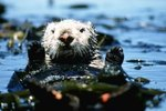 Sea Otters vs. Freshwater Otters