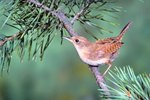 How do I Build a Jenny Wren House?