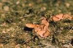 How to Identify Copperhead Dens