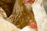 What Is That Red Thing Under a Hen's Head?