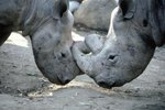 What Is the Courtship Ritual of a Rhino?