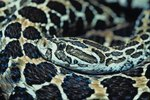 The Difference Between Gopher Snakes & Rattlesnakes
