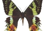 What Are the Distinguishing Characteristics of the Madagascar Sunset Moth?