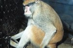 What Monkey Breeds Can Be Pets?
