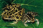 Habitat of the Coastal Plain Leopard Frog
