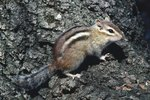 Chipmunk Development From Baby to Adult