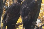 The Mating Behaviors of the Golden Eagle