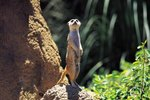 Mongoose Behavior