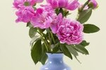 Are Peonies Poisonous to Cows?