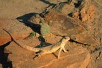 What Do Desert Iguanas Eat?