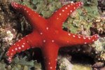 What Are the Starfish's Adaptations to Stay Alive?