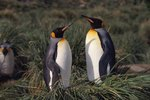How Are King Penguins & Fairy Penguins Different?