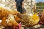 Supplements for Rickets in Chickens