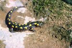 Natural Habitat of the Yellow Spotted Salamander