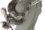How Strong Are the Coils of a Boa Constrictor?