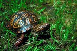 Box Turtle Illness Symptoms