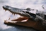Difference in Crocodile vs. Alligator Snouts