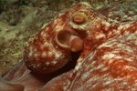 The Difference Between Gastropods & Cephalopods