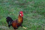 Eating Habits of Roosters & Chickens