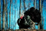 What Gender of Turkey Gobbles?