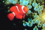 What the Clownfish Needs in Captivity