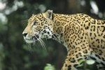 What Tries to Eat Jaguars?