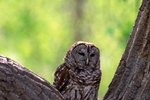 What Is the Difference Between a Barn Owl & a Barred Owl?
