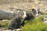 Arctic Foxes & Their Abiotic Needs