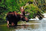 How to Distinguish Between a Cow & a Bull Moose