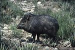 What Is the Difference Between a Pig & a Peccary?