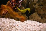 Eating Habits of Dwarf Sea Horses