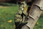 On Average, How Long Do Chameleons Live?