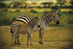 How Does the Zebra Protect Its Younger Ones?