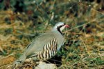 How Can I Tell the Sex of a Chukar Partridge?