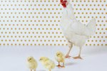 How to Build a Temporary Pen for Hens and Baby Chicks