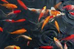 What Causes Cloudy Gray Water in Koi or Goldfish Ponds?