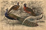 What Is the Difference Between a Peacock & a Pheasant?