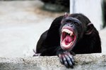 How a Chimpanzee Defends Itself
