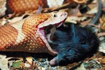 Copperhead Diet