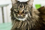 How Much Do Maine Coon Cats Weigh?