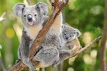 How Does a Mother Koala Carry Her Baby?