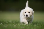 Top 10 Cutest Golden Retrievers