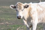 How to Treat Lice in Cattle