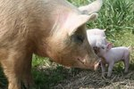 How a Mother Pig Takes Care of Her Piglets