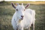 Joint Pain Relief for Goats