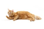 how-do-neutered-male-cats-erections