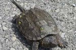 How to Take Care of a Snapping Turtle