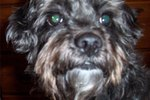 How to Care for a Schnoodle Dog With Sensitive Skin
